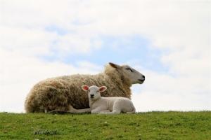 Schafe am Deich bei Lüttmoorsiel