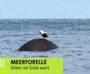 Meerforellen Tour in Heiligenhafen & auf Fehmarn