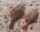 Flundern vom Strand Fehmarnsund auf Fehmarn